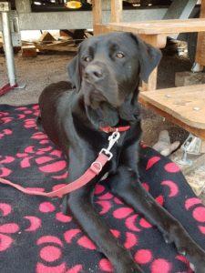 Schwarzer Labrador schaut entspannt in die Welt